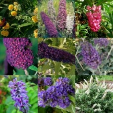 Buddleia x 6 Plants Pack 3 Types Scented Flowering Butterfly bush Cottage Garden Shrubs/small trees