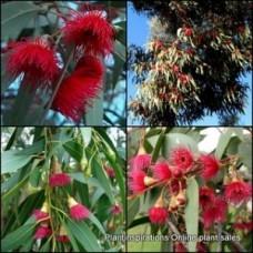 Eucalyptus leucoxylon megalocarpa Dwarf Flowering Gum 8 plants Native Trees Garden