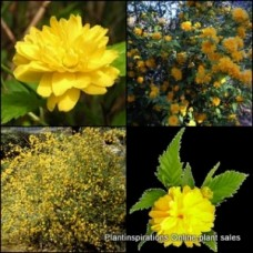 Kerria japonica x 4 Japanese Rose Gold Flowering Shrubs Garden Plants Deciduous Screen Screening Hedge Pleniflora Cottage Yellow Flowering Thornless