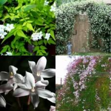 Jasmine polyanthum x 4 Jasmine White Pink Scented flowering vine Climbing Garden Plants Flowering Hedge Fast Screening privacy climbers