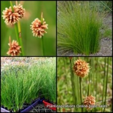 Knobby Club Rush x 1 Australian Native Grasses Plants Shrubs Garden Brown Flowering Hardy Frost Tough Bird Attracting Isolepsis nodosa Ficinia