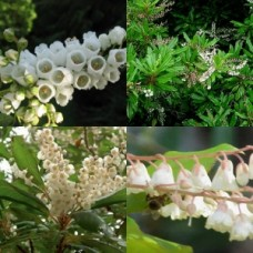 Lily of the Valley Tree x 1 White scented bell shaped flowering small tree Clethra arborea Screening Plants Rare Exotic Garden
