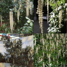 Garrya elliptica x 2 Silk Tassel Bush James Roof Garden Plants Catkin Flowers Border Rare American Hedge Pots Espalier Topiary Hardy Drought Frost Tough