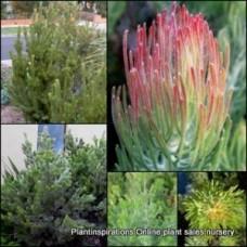 Albany woolly Bush Native plants Hardy Garden Shrub Adenanthos sericus Wooly Bush