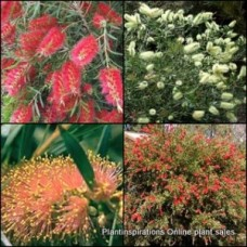 Bottlebrush Callistemon 10 Plants 3 Types Random Pack Native Bottle Brush Shrubs Trees Bird Attracting Flowering Hardy Drought Tough