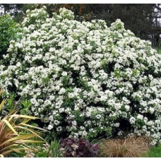 Choisya ternata x 4 Mexican Orange Blossom Plants Scented Foliage White Flowering Hedging Border Hardy Shrubs Cottage Garden
