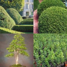 English Box Hedge x 5 Hedging Screening Bonsai Topiary Garden Plants Shrubs Pots Frost Resistant Buxus sempervirens