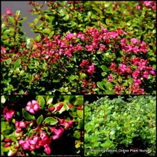 Escallonia Dwarf Pink x 5 Flowering Hedging Plants Pixie Hedge Cottage Garden Shrubs Border Rockery Pot Patio Balcony