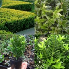 Euonymus Tom Thumb Box Hedge x 5 Japanese Spindle Border Plants Shrubs Cottage Garden Topiary Bonsai Hardy Frost japonicus microphyllus