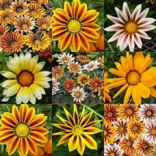 Gazania x 1 Mixed Hardy Tough Flowering Plants Drought Frost Survivors Groundcover Cottage Garden Pots Border Colourful Perennial Xeriscape