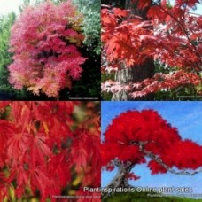 Japanese Maple Trees x 4 Acer palmatum Red Autumn Ornamental Foliage Bonsai Plants Deciduous Leaves leaf Shade Garden