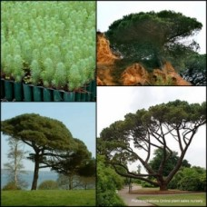 Pine Nut Tree x 1 Italian Stone Umbrella Pinenut Edible nuts Hardy Drought Frost Tough Cypress Conifer Pinus pinea Tall Trees