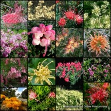 Grevillea x 10 Mixed Plants 4 types Hardy Native garden shrubs/groundcover plants. Flowering Bird Attracting.
