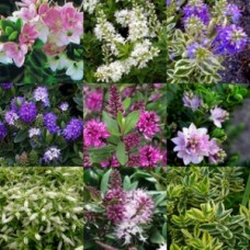 Hebe Mixed x 8 Random Pack 3 Types Veronica Evergreen Shrubs Plants Flowering Pots Hedge Rockery Pots Topiary Bonsai Hardy Frost Tough