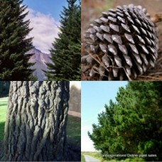 Pine Trees Monterey x 1 Christmas Plants Fast Farm Conifer Timber Hardy Drought Frost Tough Hedging Topiary Bonsai Pots Pinus radiata