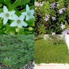 Myoporum Creeping Boobialla x 10 plants  3 Types Dwarf Native Myrtle White Pink Purple Flowering Groundcover Shrubs parvifolium Hardy Drought Frost Rockery Hanging Baskets Pots