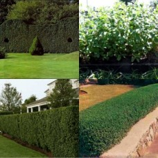 Box Leaf Privet x 5 Hedge Shrubs Plants Cottage Garden Border Topiary Hardy Drought Frost Tough Ligustrum undulatum