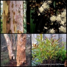 Sydney Red Gum Trees x 1 Angophora costata Hardy Plant Fast Native Trees Rose Smooth Barked Apple
