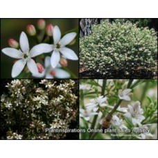 Wax Flower Profusion x 1 Philotheca Scented Native Shrubs Plants White Pink Flowering Hardy Drought Frost Tough Shade Bird Attracting Eriostemon myoporoides