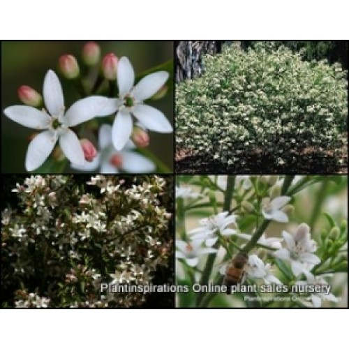 Wax Flower Profusion x 5 Philotheca Scented Native Shrubs Plants White Pink Flowering Hardy Drought Frost Tough Shade Bird Attracting Eriostemon myoporoides