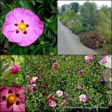 Cistus Brilliancy x 1 Pink with red spots and yellow centered Flowering Hardy Plants Rock rose Flower Garden salviifolius purpureus