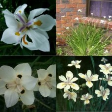 Dietes grandiflora Wild Fairy Iris x 5 Flowering Grasses Plants African Lily Pots Shade Hardy Drought Frost Grass Cottage Garden