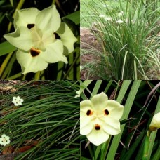 Dietes Bicolour x 5 Plants Spanish Iris African Iris Fortnight Lily Yellow Flowering Hardy Grasses Border Frost Drought Tough