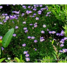 Brachyscome multifida x 1 - Break O Day Daisy - Swan River Daisy - Cut Leaf Daisy - Australian Native Groundcover Plants Bush Mauve Flowers Daisies Rockery Cascading
