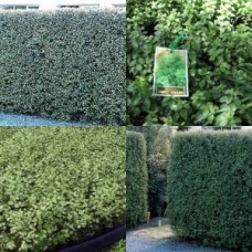Pittosporum Silver Sheen x 5 Plants Fast Hedge Screen Hardy Hedging Privacy Screening Border Trees tenuifolium