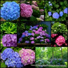 Hydrangea Mixed x 4 Random Pack 3 Types Mophead Lacecap Pink Blue Mauve Flowering Shade Shrubs Plants Cottage Garden macrophylla serrata
