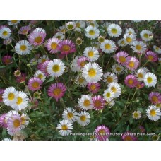 Seaside Daisy x 1 Profusion Mexican Fleabane Erigeron karvinskianus Hardy Flowering Groundcover Plants Hanging basket