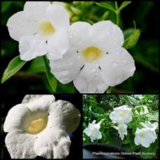Pandorea jasminoiodes Lady Di x 1 Native Vines Climber White Flowering Plants jasminoides Climbing Screening Jasmine Privacy