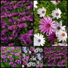 African Daisy - Passion Mixed x 10 - Osteospermum ecklonis - Groundcover Flowering Plants Hardy Cottage Garden Rockery Border Shrubs Daisies