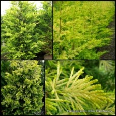 Conifer Gold Rider x 1 Hedge Garden Plants Cypress Trees Farm Topiary Bonsai Hardy Drought Frost Cupressocyparis leylandii