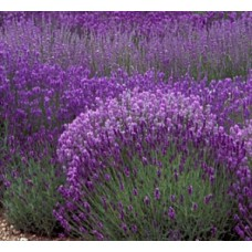 Lavender Hidcote x 1 English Herbs Cottage Garden Scented Purple Mauve Flowering Bush Shrubs Plants Lavandula angustifolia
