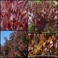 Purple Hopbush x 1 Australian Native Shrubs Plants Hedge Garden Evergreen Hardy Drought Frost Dodonaea viscosa purpurea