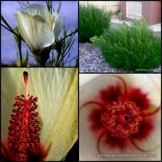 Native Hibiscus Elle Maree x 4 Plants Yellow Flowering Hardy Shrubs Bush Alyogyne hakeifolia hakeifolius Border Rockery