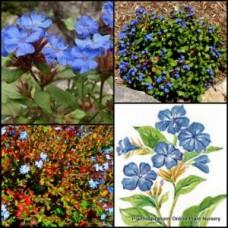 Burmese Plumbago x 1 - Leadwort - Ceratostigma griffithii - Blue Flowering Perennial Plants Shrubs Bush Asian Hedge Rockery Cottage Garden Deciduous Tough Hardy