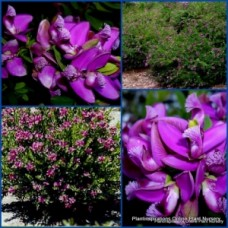 Polygala Dazzler x 1 Dwarf Sweet Pea Bush Hardy Plants Flowering Hedge Rockery Garden Shrubs myrtifolia x dalmaisiana