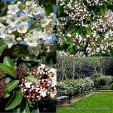 Viburnum tinus x 5 Hedge Screen Topiary Garden/Pot Hardy Plants White Flowering Laurustinus Screening Hedging Privacy Border Patio Balcony