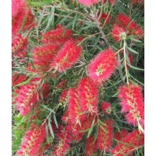 Scarlet Bottlebrush x 5 Plants Red Flowering Callistemon rugulous Hardy Native Trees/Shrubs Hedge Bird Attracting Drought Bottle Brush