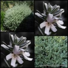 Westringia fruticosa Smokey x 1 White Coastal Rosemary Native Garden Plants Smokie Flowers Hedge Screening Flowering Shrubs
