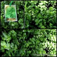Pittosporum Green Pillar x 1 Hedge Garden Plants Screening Hedging Topiary Bonsai Hardy Drought Frost tenuifolium
