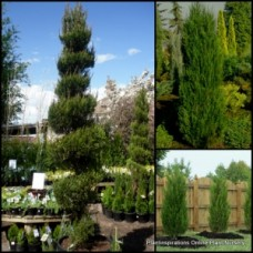 Juniper Spartan Chinese x 1 Red Cedar Pencil Pine Tall Narrow Trees Conifer Hedge Thick Plants Pots Topiary Bonsai Shade Hardy Drought Frost Tough Juniperus chinensis