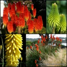 Red Hot Poker x 5 Random Mixed Colors Hardy Vivid Flowering Grass Plants Kniphofia Shade/Full Sun Grasses Torch Lilies Tritomas Border Patio Rockery Cottage garden uvaria