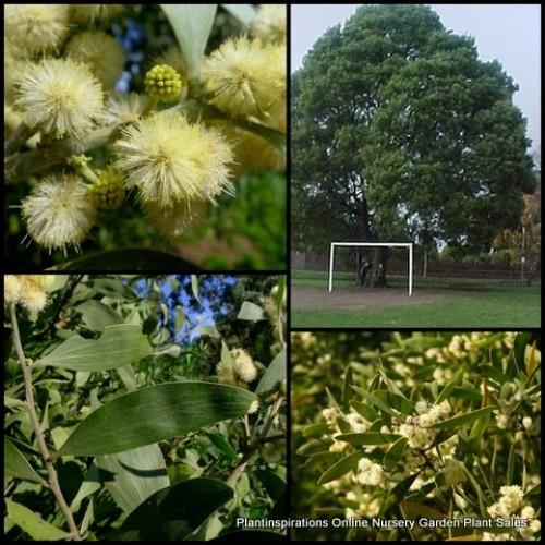 Acacia melanoxylon x 1 - Australian Blackwood - Wattle Native Plants Flowering Farm Trees Screening Fast Growing