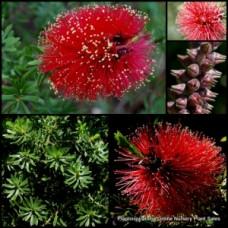 Kunzea baxteri x 5 Scarlet Crimson Red Flowering Bottlebrush Callistemon Native Shrubs Plants Bird Attracting Rockery Border Pots Topiary Bonsai Hardy Drought Frost