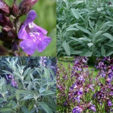 Sage x 10 Salvia officinalis Herbs Scented Cottage Garden Plants Purple Mauve Flowering Border Hedge Evergreen Dalmatian Hardy Drought Tough