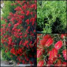 Bottlebrush Kings Park Special x 5 Red Flowering Native Plants Trees Tall Shrubs Hedge Bird Attracting Callistemon Hardy Drought citrinus