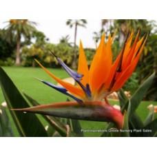 Bird of Paradise x 1 Plants Hardy Flowering Garden Crane Orange Flowers Rockery Patio Pot Strelitzia reginae